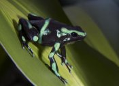 Tim Fitzharris - Green and Black Poison Dart Frog portrait, Costa Rica