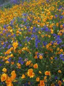 Tim Fitzharris - California Poppy and Desert Bluebell flowers, Antelope Valley, California