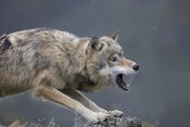 Tim Fitzharris - Gray Wolf snarling, North America