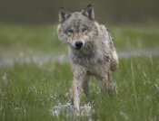 Tim Fitzharris - Gray Wolf walking through water, North America