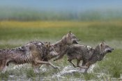 Tim Fitzharris - Gray Wolf trio running through water, North America