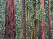 Tim Fitzharris - Coast Redwood trees, Mariposa Grove, Yosemite National Park, California