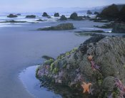 Tim Fitzharris - Ochre Sea Stars at low tide, Miwok Beach, Sonoma, California