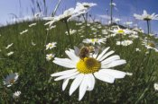 Konrad Wothe - Hoverfly collecting nectar in a field of Marguerites , Germany