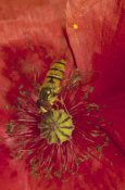 Konrad Wothe - Marmalade Hover Fly collecting pollen from red poppy, Germany