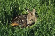 Konrad Wothe - Western Roe Deer fawn resting in green grass, Germany