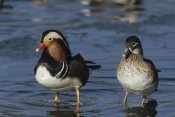 Konrad Wothe - Mandarin Duck male and female standing in water, China