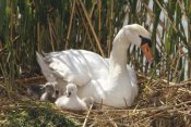 Konrad Wothe - Mute Swan parent with chicks in nest made of reeds, Germany