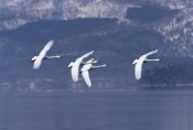 Konrad Wothe - Whooper Swan group flying over lake, Kussharo-ko, Hokkaido, Japan