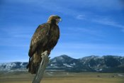 Konrad Wothe - Golden Eagle perching on a branch, Game Farm, Colorado