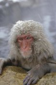 Konrad Wothe - Japanese Macaque soaking in hot springs during a snowstorm, Japan