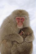 Konrad Wothe - Japanese Macaque mother and baby, Japanese Alps, Japan