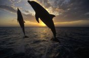 Konrad Wothe - Bottlenose Dolphin pair leaping at sunrise, Honduras