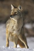 Konrad Wothe - Coyote portrait in winter, Alleens Park, Colorado