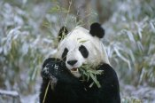 Konrad Wothe - Giant Panda eating bamboo, Wolong Valley, China