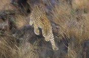 Konrad Wothe - Leopard running through grass at dusk, Etosha National Park, Namibia