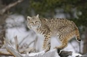 Konrad Wothe - Bobcat in winter, Colorado