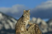 Konrad Wothe - Bobcat , Rocky Mountains, North America