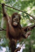 Konrad Wothe - Orangutan infant hanging from branch, Borneo