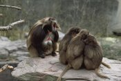 Konrad Wothe - Gelada Baboon group with male calling, central Ethiopia