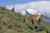 Konrad Wothe - Guanaco herd grazing on grass in mountains, Patagonia, Argentina