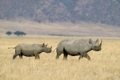 Konrad Wothe - Black Rhinoceros and calf crossing savannah, Ngorongoro Crater, Tanzania