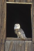 Konrad Wothe - Barn Owl perching on barn window, North America