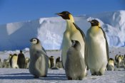 Konrad Wothe - Emperor Penguins with chicks, Weddell Sea, Antarctica