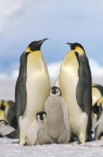Konrad Wothe - Emperor Penguin parents with chicks, Antarctica