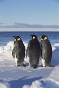 Konrad Wothe - Emperor Penguin trio on edge of ice, Antarctica