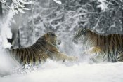 Konrad Wothe - Siberian Tiger pair playing together in snow, China