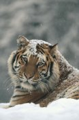 Konrad Wothe - Siberian Tiger portrait in light snowfall, Siberian Tiger Park,  China