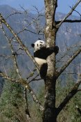 Konrad Wothe - Giant Panda in tree, Wolong Nature Reserve, China