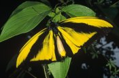 Konrad Wothe - Goliath Birdwing butterfly male, rare species, Irian Jaya, Indonesia