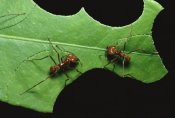 Konrad Wothe - Leafcutter Ant pair cutting pieces from leaf, Honduras