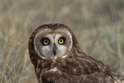Konrad Wothe - Short-eared Owl portrait, North America
