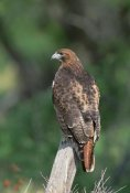 Konrad Wothe - Red-tailed Hawk perching on branch, North America