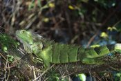 Konrad Wothe - Green Iguana female, Central America