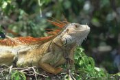 Konrad Wothe - Green Iguana male portrait, Central America