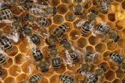 Konrad Wothe - Honey Bee colony on honeycomb, North America