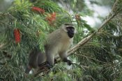 Konrad Wothe - Black-faced Vervet Monkey in tree, east Africa