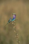 Konrad Wothe - Lilac-breasted Roller perching on twig, Africa