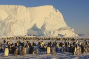 Konrad Wothe - Emperor Penguin rookery with iceberg in background, Antarctica