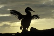 Konrad Wothe - Flightless Cormorant drying its wings, Galapagos Islands, Ecuador