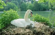 Konrad Wothe - Mute Swan parent and chicks on nest, Germany