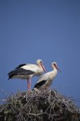 Konrad Wothe - White Stork couple at nest, Europe