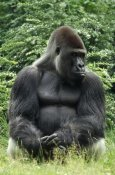 Konrad Wothe - Western Lowland Gorilla male  in rainforest, Africa