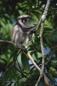 Konrad Wothe - Western Red Colobus sitting in tree, Zanzibar
