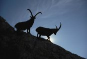 Konrad Wothe - Alpine Ibex pair silhouetted on cliff, Aosta Valley, Italy