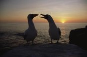 Konrad Wothe - Masked Booby couple courting at sunset, Galapagos Islands, Ecuador
